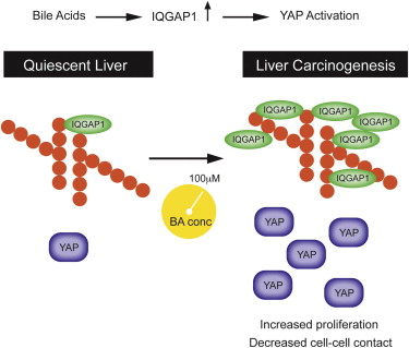 This cartoon demonstrates the difference in activity in quiescent liver and liver on its way to cancer, showing the activity of IQGAP1 and YAP in each case. Image courtesy of Cell Reports and Dr. David Moore.
