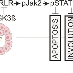 Why does late pregnancy increase the risk of breast cancer? The answer rests deep in the cells with a molecule calledSTAT5
