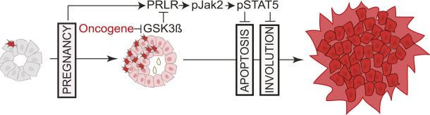 The breast cells with oncogenic activation (shown in red) progress to cancer slowly because apoptosis or programmed cells death provides a barrier to cancer. However, when a woman becomes pregnant, the preexisting precancerous cells activate a pathway called PRLR-Jak2-STAT5 signaling (becoming pink), and maintain the activated state of this pathway even after the baby is weaned. Photo courtesy of the journal eLife and Dr. Yi Li.
