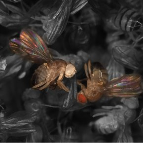MiMIC proves versatile tool for fruit fly research