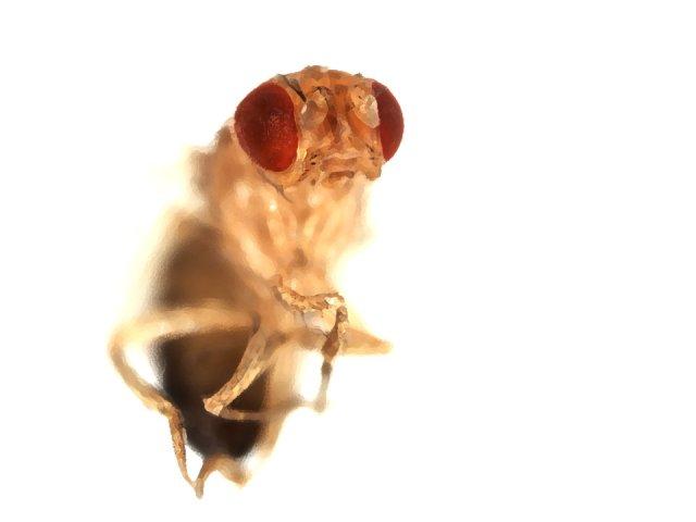 Fruit fly, courtesy Dr. Shinya Yamamoto