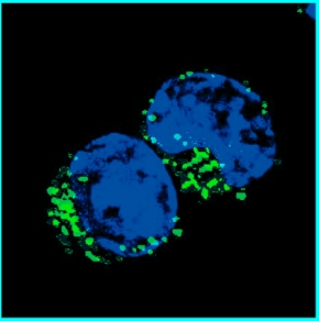 Image of the Month: Memory B Cells