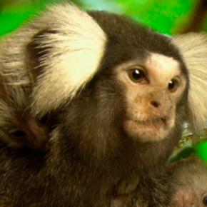 Marmoset sequence sheds new light on primate biology andevolution