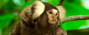 news-123013-marmoset-front