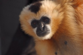Genome sequence of nimble gibbon