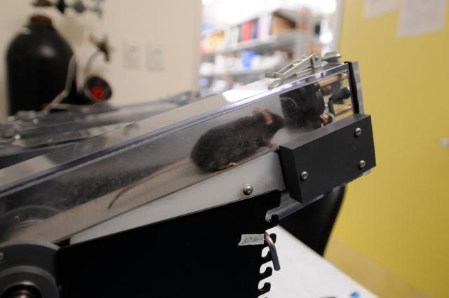 Mice that lack Mondo A on the treadmill.