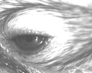 Fluctuations in pupil size in this mouse eye can reflect emotional state.