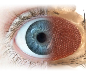 This illustration merging the human and fruit fly eye shows how the two organisms share many characteristics that can be exploited in the laboratory.
