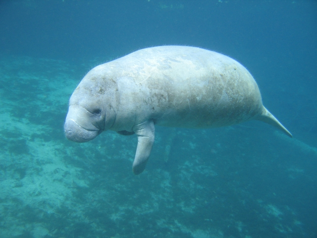 Florida manatee in Three Sisters Springs, Crystal River, Florida.  Credit: Dr. Robert Bonde, Sirenia Project, US Geological Survey