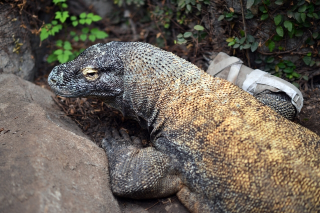 Baylor College of Medicine experts helped this Komodo dragon at the Houston Zoo maintain his mobility.