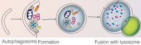 Autophagy: Protector against lung inflammation andfibrosis