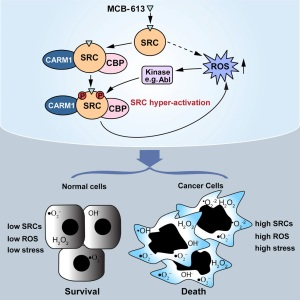 Researchers characterize a steroid receptor coactivator small molecule stimulator MCB-613. Graphic courtesy of O'Malley and the journal Cancer Cell
