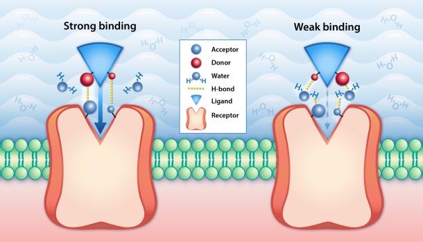 Fig. 1 Receptor-ligand binding affinity