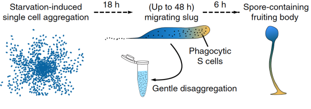 """When they starve, about 100,000 single-celled amoebae assemble to form a slug that migrates away and finally forms a fruiting body that holds dormant spores. The gentle disaggregation of slug cells (in the middle) allowed the researchers to """"liberate"""" phagocytic Sentinel cells and study them in vitro, as shown in the video on the right. Nat. Commun. 7:10938 doi: 10.1038/ncomms10938 (2016)."""