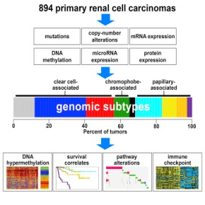 Genomic study on renal cell carcinoma reveals potential opportunities for more effective treatments