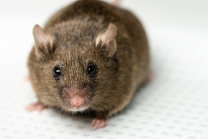 C83 Mice. Wildtype (Brown/Black coat color). Photographed for Ven Natarajan.