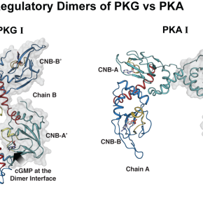 Crystal structure of PKGI suggests a new activationmechanism