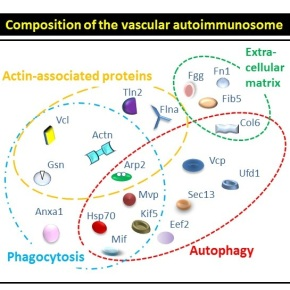 New insights from an autoimmunity-mediated atherosclerosis mouse model could pave the way to new therapies for cardiovasculardiseases