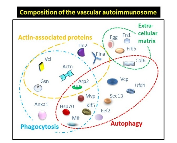 Vascular autoimmune targets—or vascular autoimmunosome—are classified into 4 major functional groups indicated in circles (more details in Merched et al, FASEB Journal, 2016)