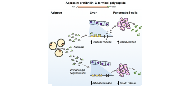 Asprosin is a newly discovered hormone that is released by adipose tissue, traffics to the liver and stimulates that organ to release glucose into the blood stream. When antibodies targeting asprosin are injected into diabetic mice, blood glucose and insulin levels improve, thereby treating the underlying diabetes.