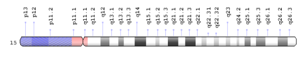 Gene NSMCE3 is on position q13.1 of human chromosome 15 . (Genetics Home Reference)