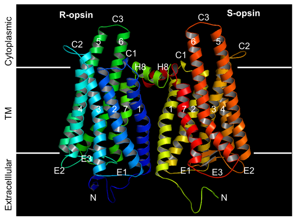 Model of the dimer formed by R-opsin and S-opsin, showing the extracellular, transmembrane and cytoplasmic loops. (X. Fu lab/with permission of PNAS)