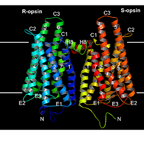 Rhodopsin most likely works as a dimer in livingcells