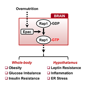 Rap1, a potential new target to treatobesity