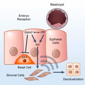 Mouse Gata2 gene can affect female fertility and uterine susceptibility tocancer