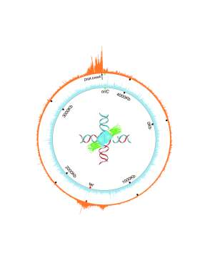Orange wheel shows the circular chromosome of E. coli bacteria. The spikes indicate where a molecular intermediate in DNA repair – four-way DNA junctions – accumulate near a reparable double strand break in the DNA. (Jun Xia/BCM & Qian Mei/Rice University)