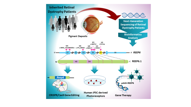 Graphic summary of the research. iPSC = inducible pluripotent stem cells. The scientists also made human retinal photoreceptors derived from induced plouripotent stem cells (iPSC's) to examine the expression of REEP6 in the human retina. S. Agrawal, R. Chen, M. Cheetham and G. Arno.
